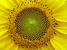 Sunflower-some-rights-reserved