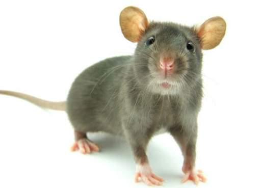 Preocupación en China tras la muerte de un hombre por hantavirus, enfermedad transmitida por ratones