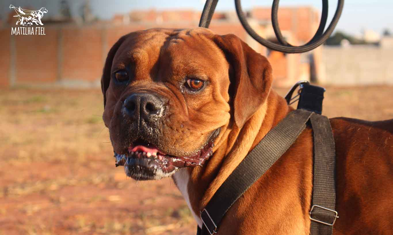 Boxer: A tranquilidade e a coragem em um único cão.