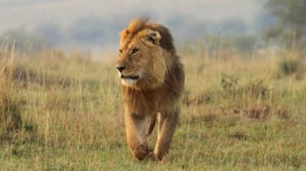 safari-lion