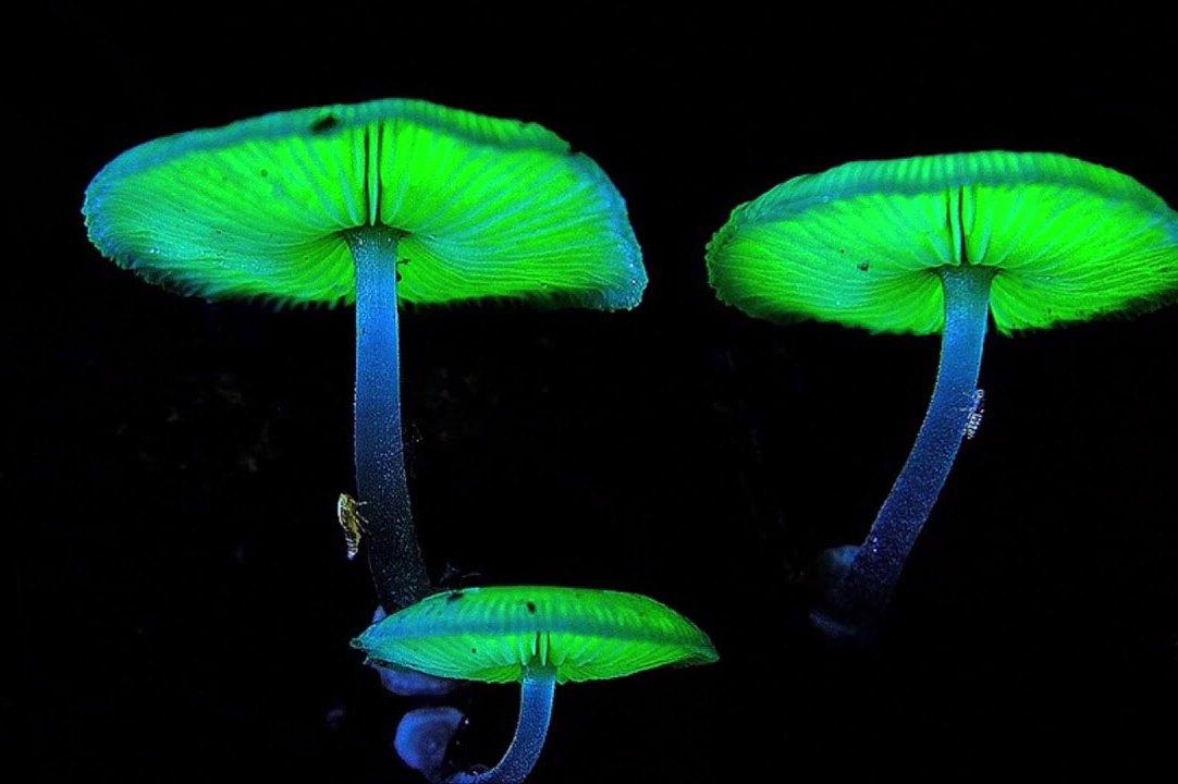 fluorescent-mushroom