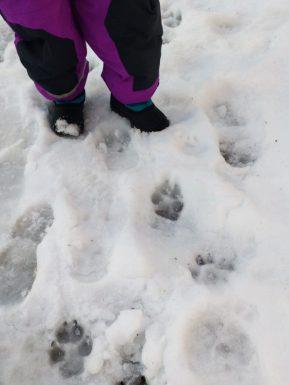viele-Tierspuren-im-Schnee
