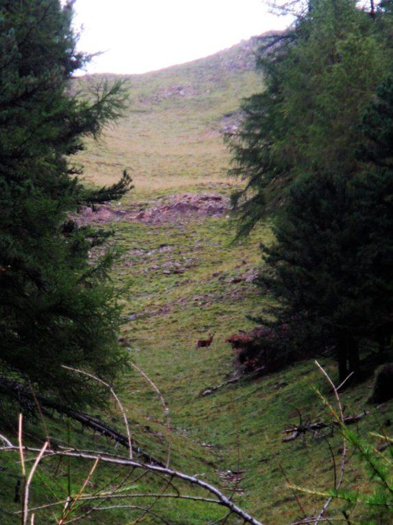 Brunftende Hirsche links und rechts des Wegs