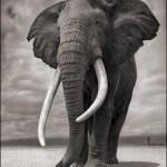 Utställningens fokus ligger mycket vidhotet för djurlivet i Östafrika. Som den här fantastiska elefanthannen vars betar är sällsynta idag.