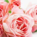 ピンクのバラのお花