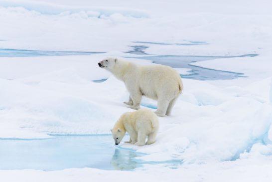 2匹の白熊