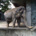 井の頭公園の象