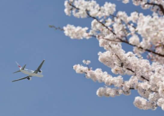 JALの飛行機と桜の木