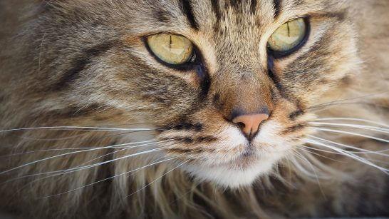 遠くを凝視する猫のアップ
