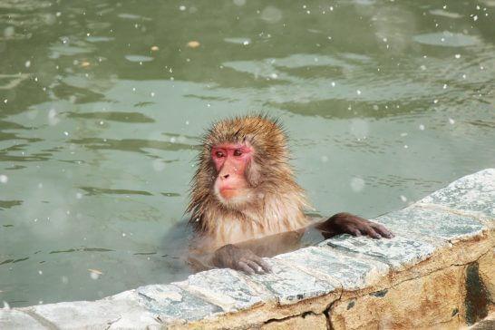 ニホンザルと温泉