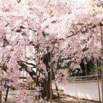 京都の醍醐寺の桜