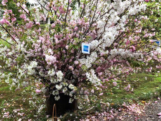応挙館の桜とアメックスのロゴ