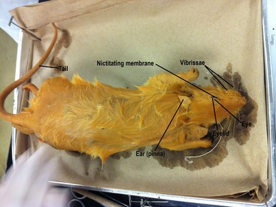 Rat Dissection  Biology 11 Honours  Animalia Labs
