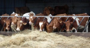 Feeding time for the award-winning cows