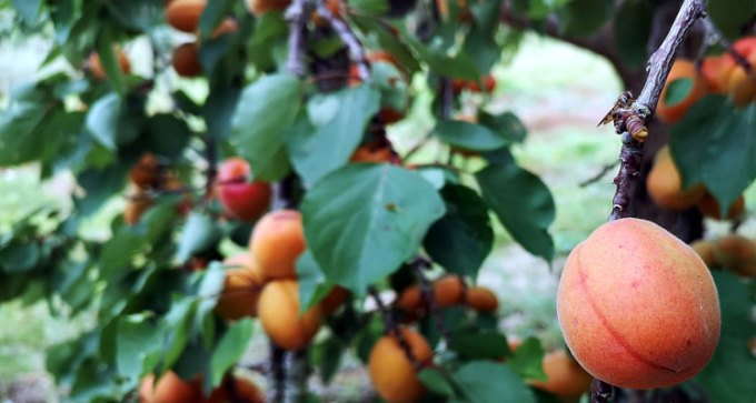 The apricot orchard is at its prime