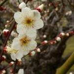 水戸偕楽園の梅まつり2015!見頃はいつ?夜梅と花火も!