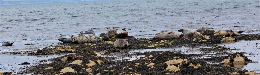 A herd of seals take to the shore.