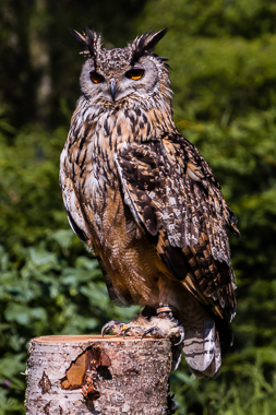 Male Bengal Eagle Owl