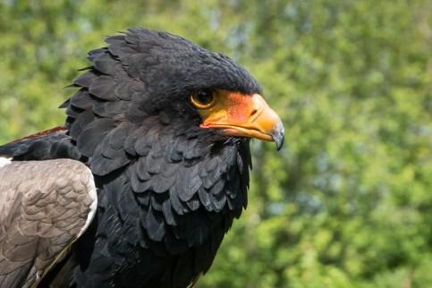 Female Bateleur Eagle