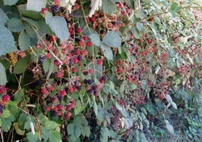 blackberries SR creek