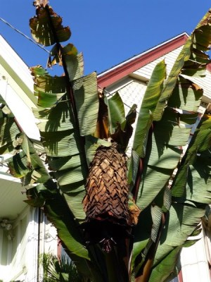 """Banana Tree"" inflorescence"