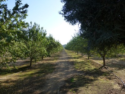 Harris almond farm near Shafter