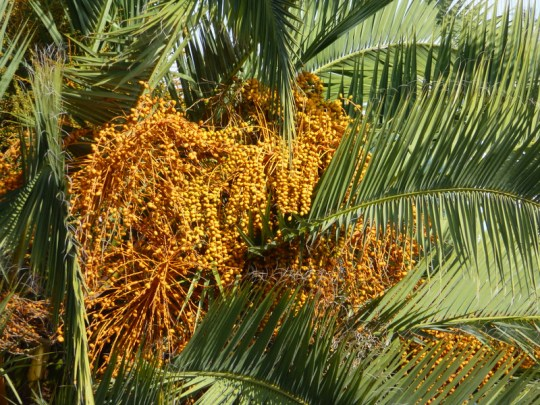 Happy Phoenix canariensis