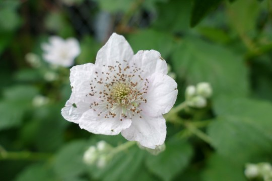 One of the 375 species in the Rubus genus