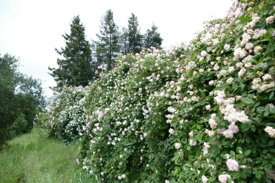 floodwall roses