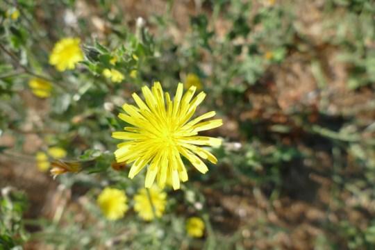 English Dandelion, Taraxacum officinale
