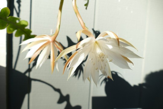 Epiphyllum anguliger blossom