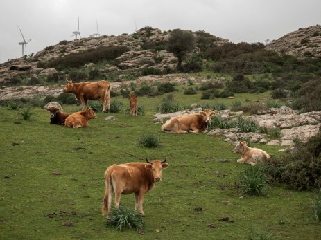 Cattle grazing on open pastures between the Ogliastra mountains, in the village of Perdasdefogu, where the oldest family in the world lives. Perdasdefogu, Italy 2015. © Matteo Bastianelli