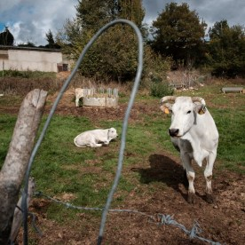 Cows inside the fence. The earthquake has damaged sheds and water pipeline in many localities causing serious problems for breeders. Rocchetta, Italy 2016. © Matteo Bastianelli