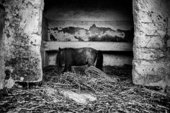 A pony in the stable, inside the Fornaro brothers' farmhouse. In 2008 just the equines escaped an order to slaughter the animals that were infected with dioxin, all the sheep were killed. Taranto, Italy 2013. © Matteo Bastianelli