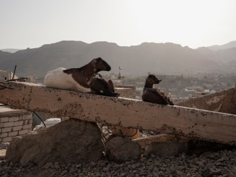 Three goats are seen lying among the ruins of a building. In the background a minaret of the local mosque with a view of the city. Ad Dhale, Yemen 2018. © Matteo Bastianelli