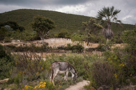 A donkey with the front paws tied together to prevent him from escape, is seen in a field in the village of Santiago Nopala, Mexico 2019. © Matteo Bastianelli