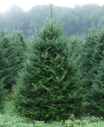 Image result for fraser fir