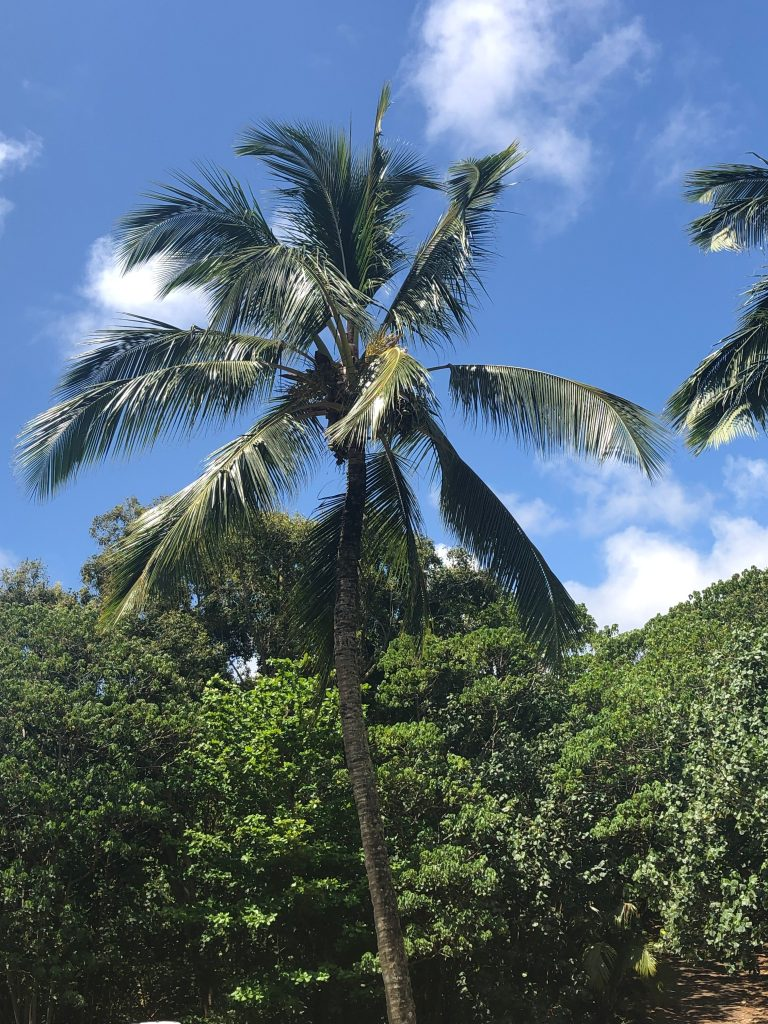Palm Tree, Wailua River