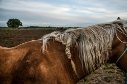 The mane of Moriah's horse Patrone is braided up during a practice back in May at the family's practice arena on the family's ranch near Chamberlain. Braiding the hair prevents the dally (wrap the rope around the rubber covered saddle horn) from getting caught in the hair and tearing it out. (Matt Gade/Republic)