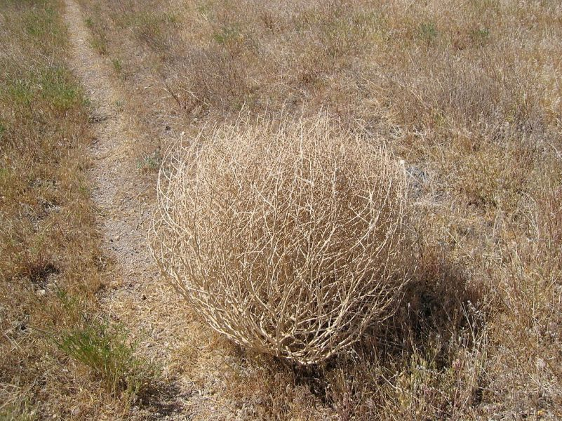 By ImperfectTommy  / Edmond Meinfelder (038_Tumbleweed) [CC BY 2.0  (https://creativecommons.org/licenses/by/2.0)], via Wikimedia Commons