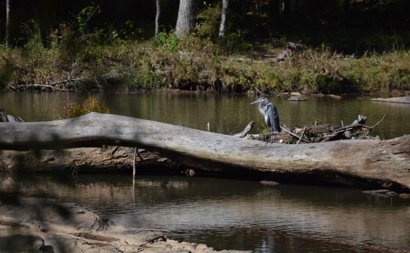 Heron at Sweetwater Creek Park in Georgia