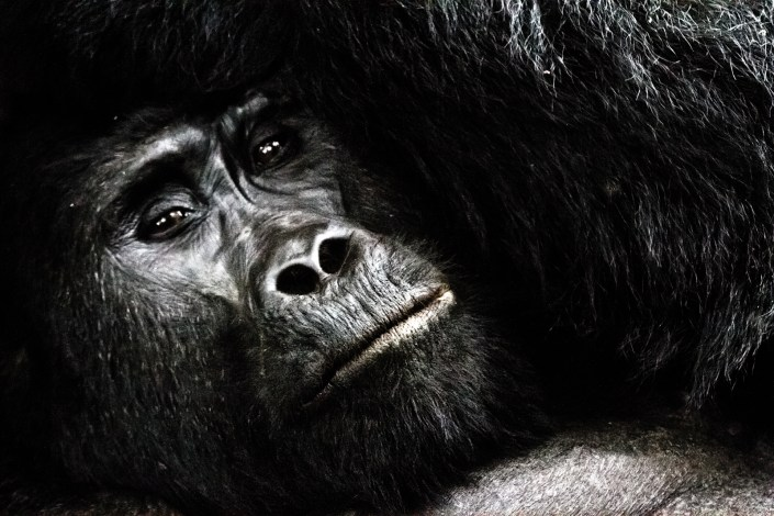 A wild silverback gorilla looks at the photographer in the impenetrable forest for a close up portrait