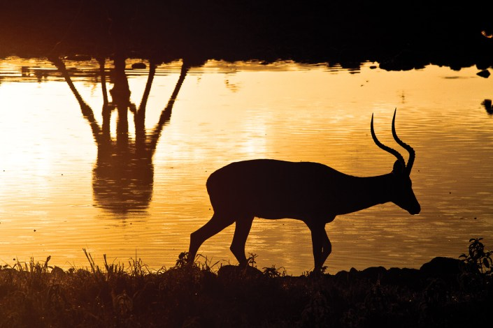 an antelope is silhouetted in the reflections of the afternoon light bouncing off a watering hole.