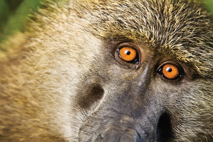 A close up of a wild baboon face