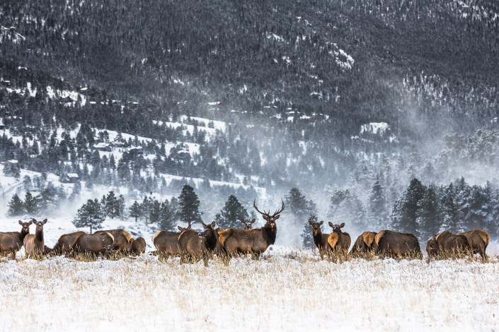 a heard of elk in the rocky mountains of the USA stands in fresh snow