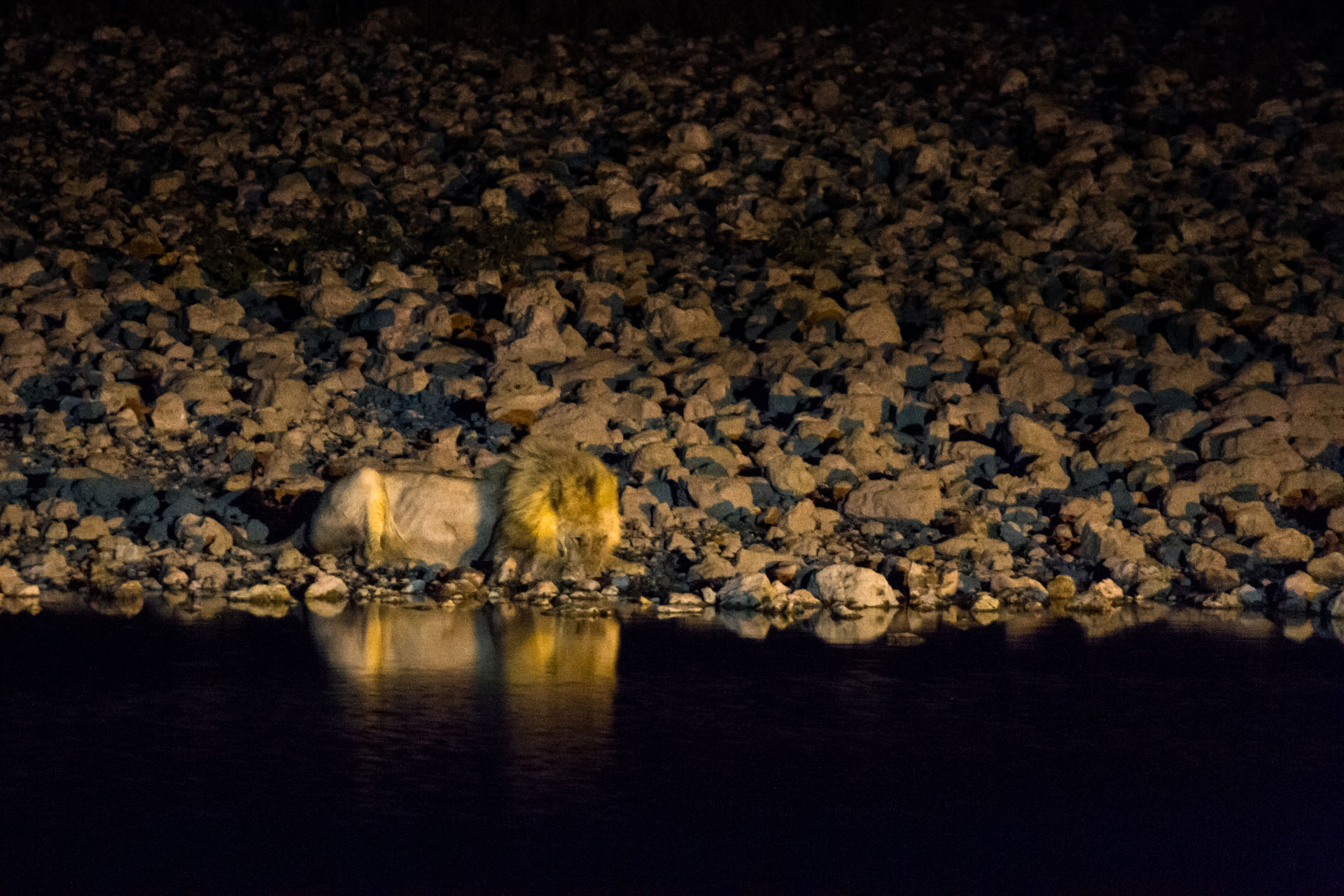 lion on the banks of a watering hole at night