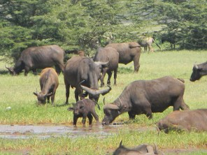 It just so happens that buffalo are my favourite animals, and there were loads of them at the Lake Manyara National Park. Lake Manyara is famous for its tree-climbing lions, but unfortunately didn't get to see any of those. We did this park on the way to Gibb's Farm, an absolute gem.