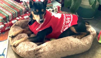 Our Min pin dog named Gambit in a Christmas sweater