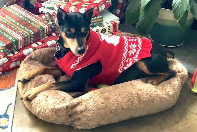 Our miniature pinscher dog named Gambit in a Christmas sweater