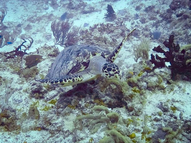 Sea turtle in Cozumel, Mexico